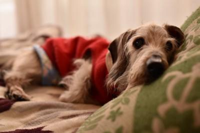 ベッドで横になる寝起きの老犬
