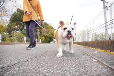 道を散歩するブルドッグ