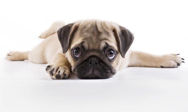 パグの子犬