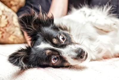 横になって驚いた表情をしている犬