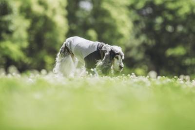 イングリッシュコッカースパニエルの老犬