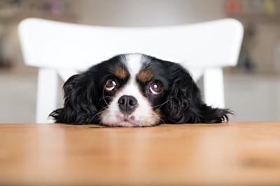 テーブルにアゴを乗せる犬