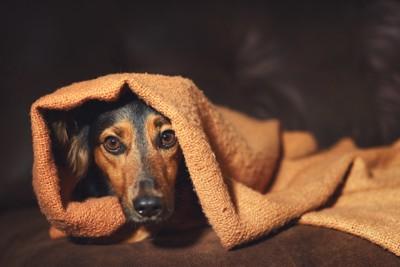 毛布にくるまって隠れている犬