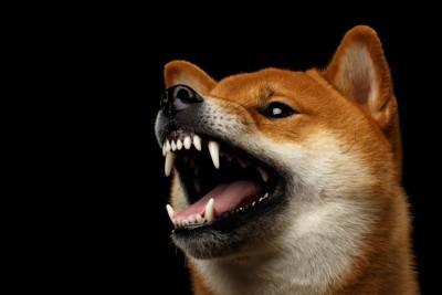 威嚇する柴犬の顔のアップ