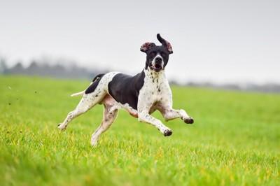 草原を走るポインター
