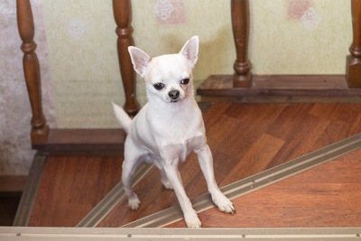 階段にいるチワワ