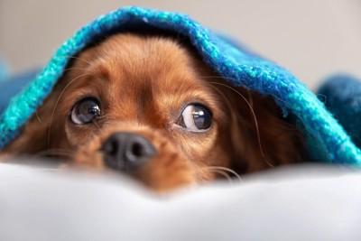 茶色犬毛布かぶる