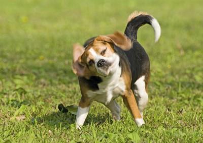 体を左右に振るビーグル犬