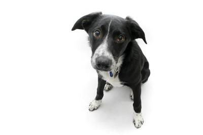 不安そうに見上げる犬、白い背景