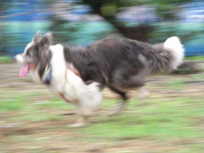 道路脇の菜園内で工事車両を追って走る愛犬