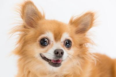 目を輝かせる犬