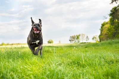 草原を走るイタリアンコルソドッグ