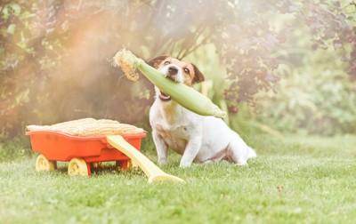 皮付きのトウモロコシをくわえる犬