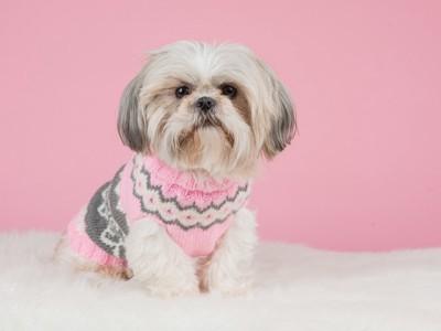 ピンクのセーターを着たシーズー