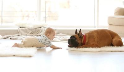 赤ちゃんと向かい合うボクサー犬