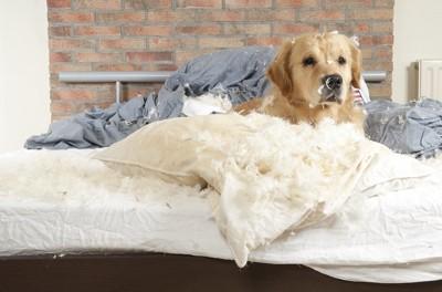 羽毛枕を食い破って散らかすゴールデンレトリバー