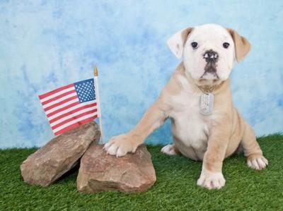 アメリカの国旗とアメリカンブルドッグ