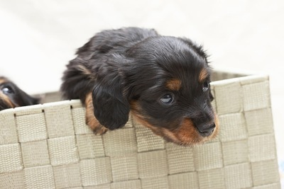 不安げに見上げるダックスの子犬
