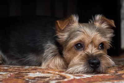 フィラリアに感染した暗い表情の犬