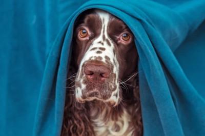 青いカーテンから顔を覗かせる犬