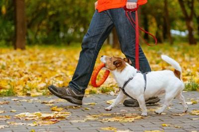 おもちゃを咥えながら散歩を楽しむ犬