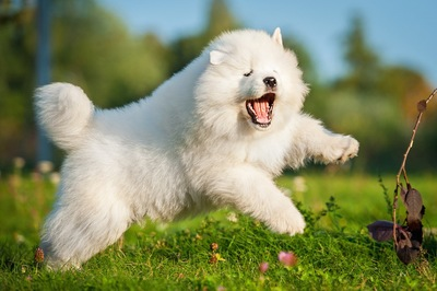 口を開けてジャンプするサモエドの子犬