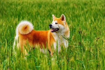 草むらの中の秋田犬