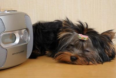 スピーカーの前で眠る犬