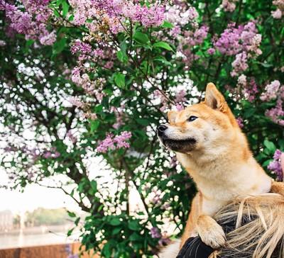 飼い主の頭に乗って花を見る柴犬