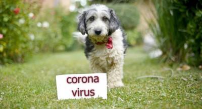 小型犬とコロナウイルスと書いたボード