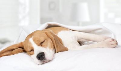 ベッドの上で眠るビーグル犬