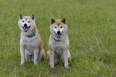 野原で遊ぶ柴犬