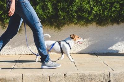 散歩中、ジャックラッセルテリアと人の足元