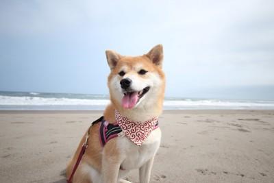 海にいる柴犬