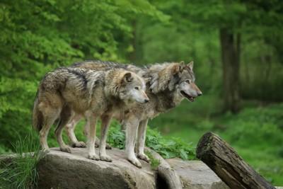 二匹のオオカミ