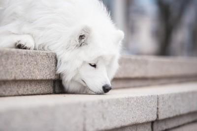 階段の匂いを嗅ぐ白い犬