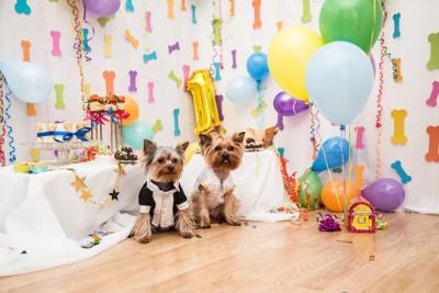 2匹のヨークシャーテリアの誕生日祝い