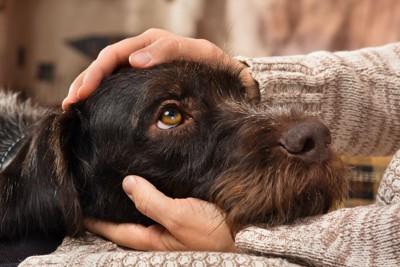 飼い主の膝に顎を乗せて見つめる犬