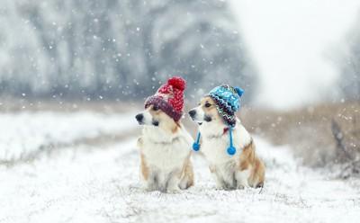 雪の中に座って同じ方向を見つめるニット帽を被った2匹の犬