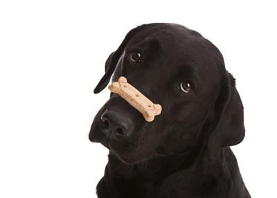クッキーを鼻の上に乗せた犬