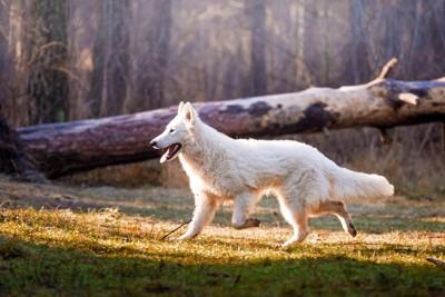 白オオカミ犬