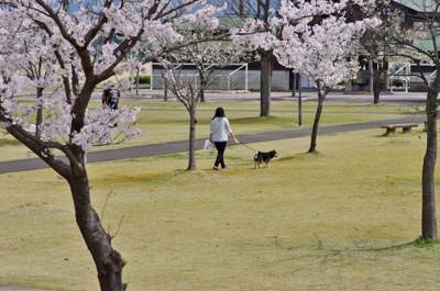 桜の咲く公園で散歩
