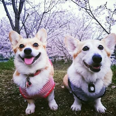 桜とコーギー2匹