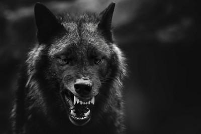 黒い写真、威嚇する狼