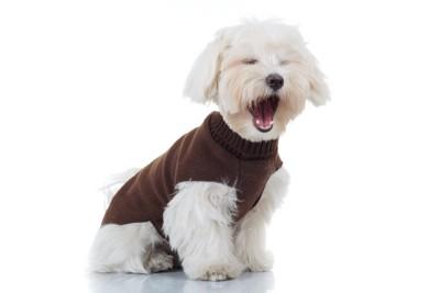 茶の服を着て口を大きく開けている犬