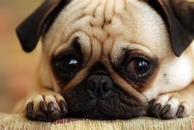 悲しそうな表情をするパグの顔アップ
