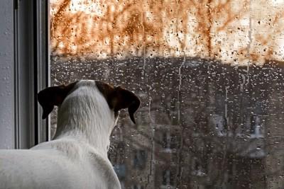 雨の日に窓から外を見る犬の後ろ姿