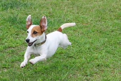 芝生を思い切り走る犬