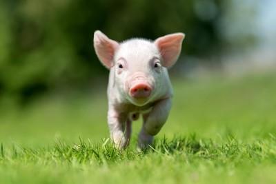 芝生を走る子豚