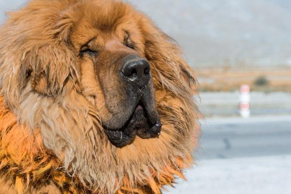 Tibetan Mastiff顔アップ